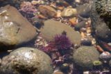 Abalone_Cove_123_02202016 - It looked like this sea urchin was being attacked by a bunch of small crabs looking for its meat