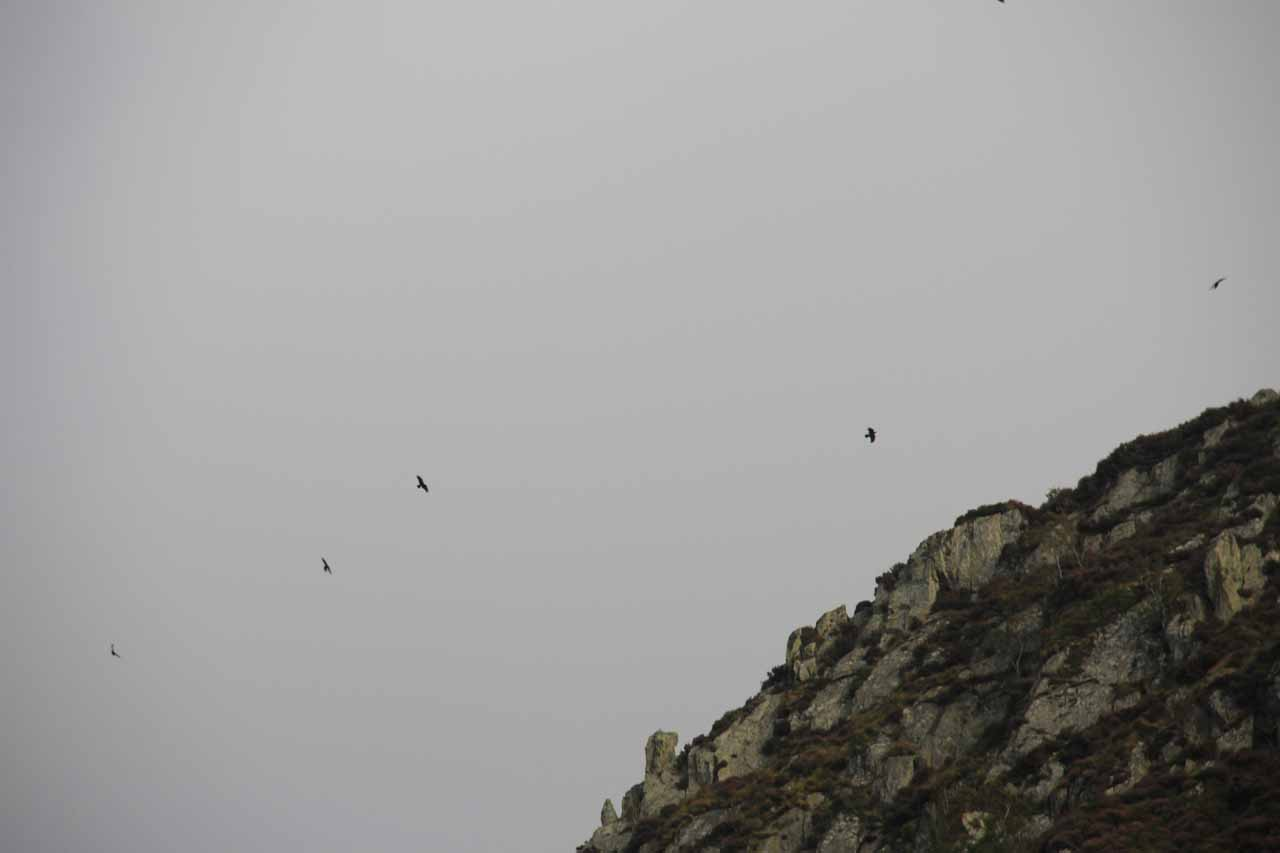 Taking a closer look at the birds circling above the cliffs next to Rhaeadr Fach