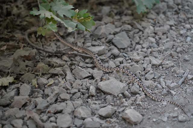 Regardless of their size, even little rattlesnakes like this one I encountered on the trail make me consider wearing boots like the Salomon Quest 4D 3 GTX over water shoes like Keens