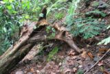 Afareaitu_Waterfalls_076_20121219 - Had to get around this fallen tree obstacle