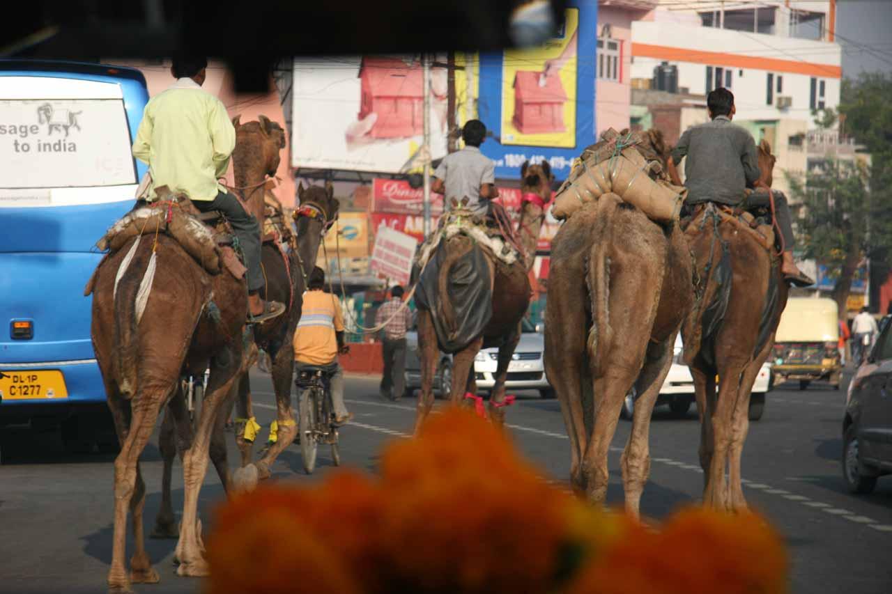 Camel traffic in Agra