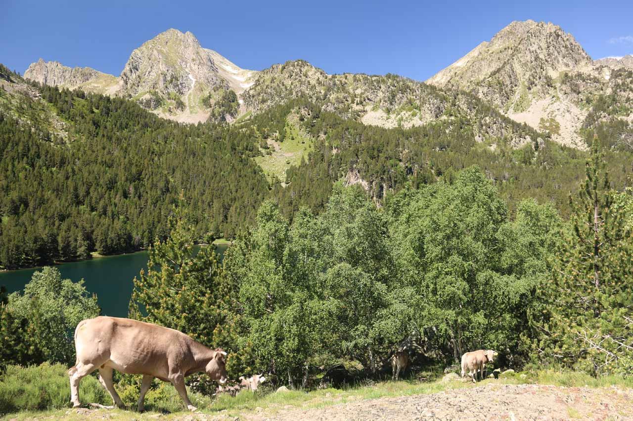 Watching cows graze as we got closer to Estany de Sant Maurici