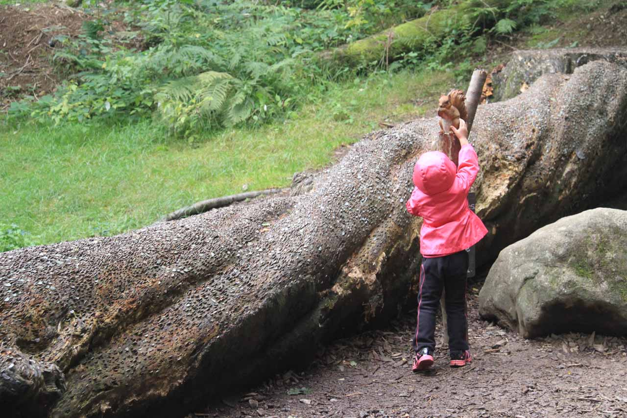 Tahia getting right up to the statue of the red squirrel next to a fallen log with many coins lodged in it