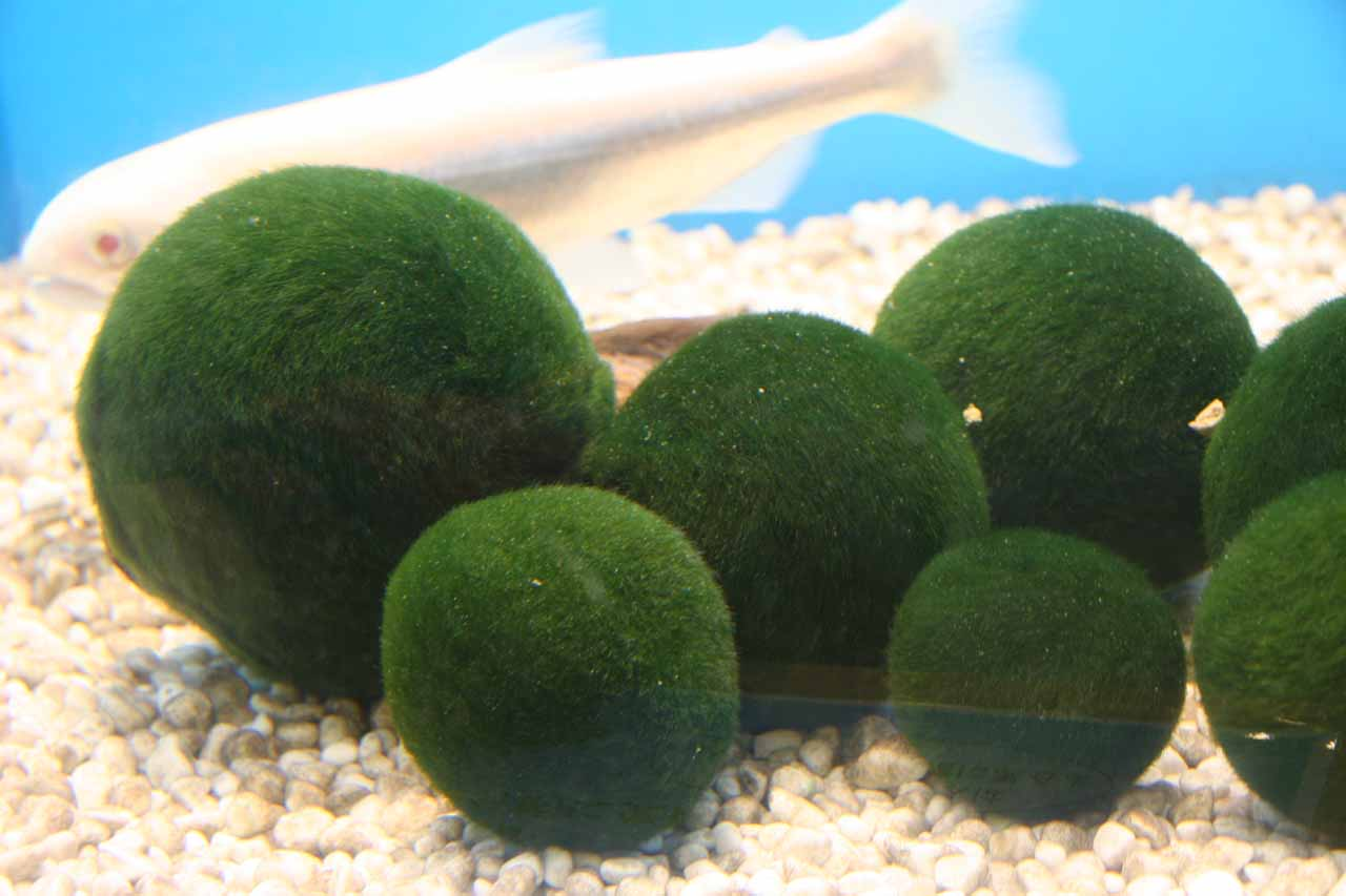 Another hour drive to the southwest of Lake Wakoto was Lake Akan or Akanko, which featured these Marimo Balls