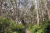 Alamere_Falls_012_04192019 - Entering a grove of white-barked gum trees early on in my hike to Alamere Falls as seen during my April 2019 visit