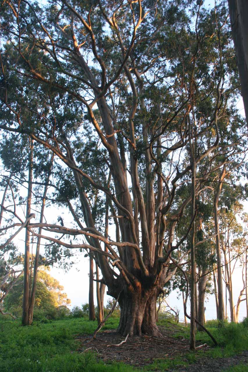 Gum trees near the start
