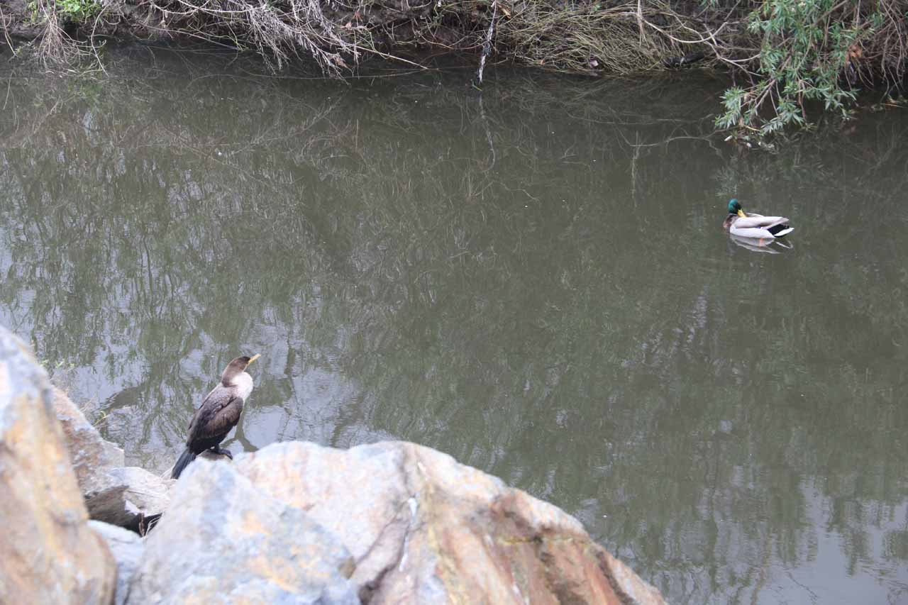 Some birds and ducks swimming in Aliso Creek despite the poor water quality