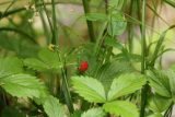 Allerheiligen_096_06222018 - Some tiny wild strawberries growing alongside the Allerheiligen Waterfalls
