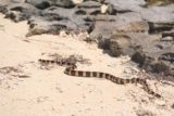 Amedee_383_11302015 - The tricot raye snake crossing the sand from the jetty to the bush