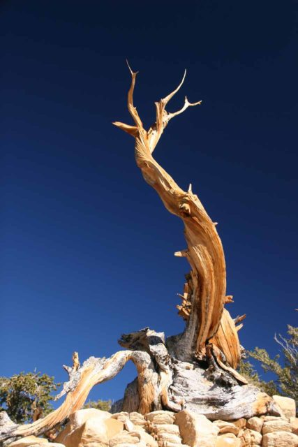 Ancient_Bristlecone_Pines_032_08212010