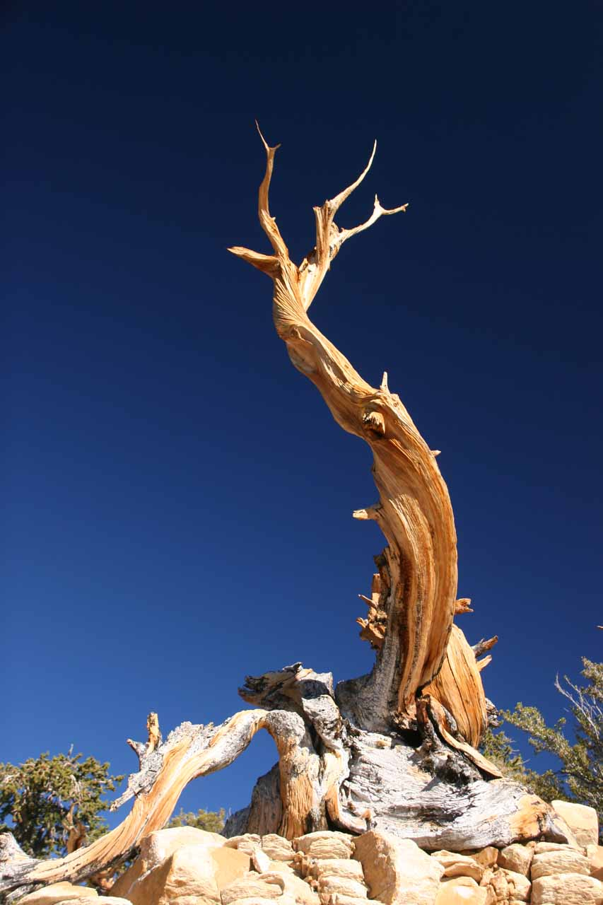 Looking up at some bristlecone pines