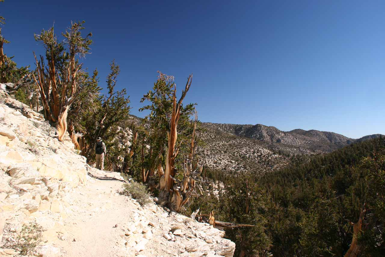 Walking within the Methuselah Grove