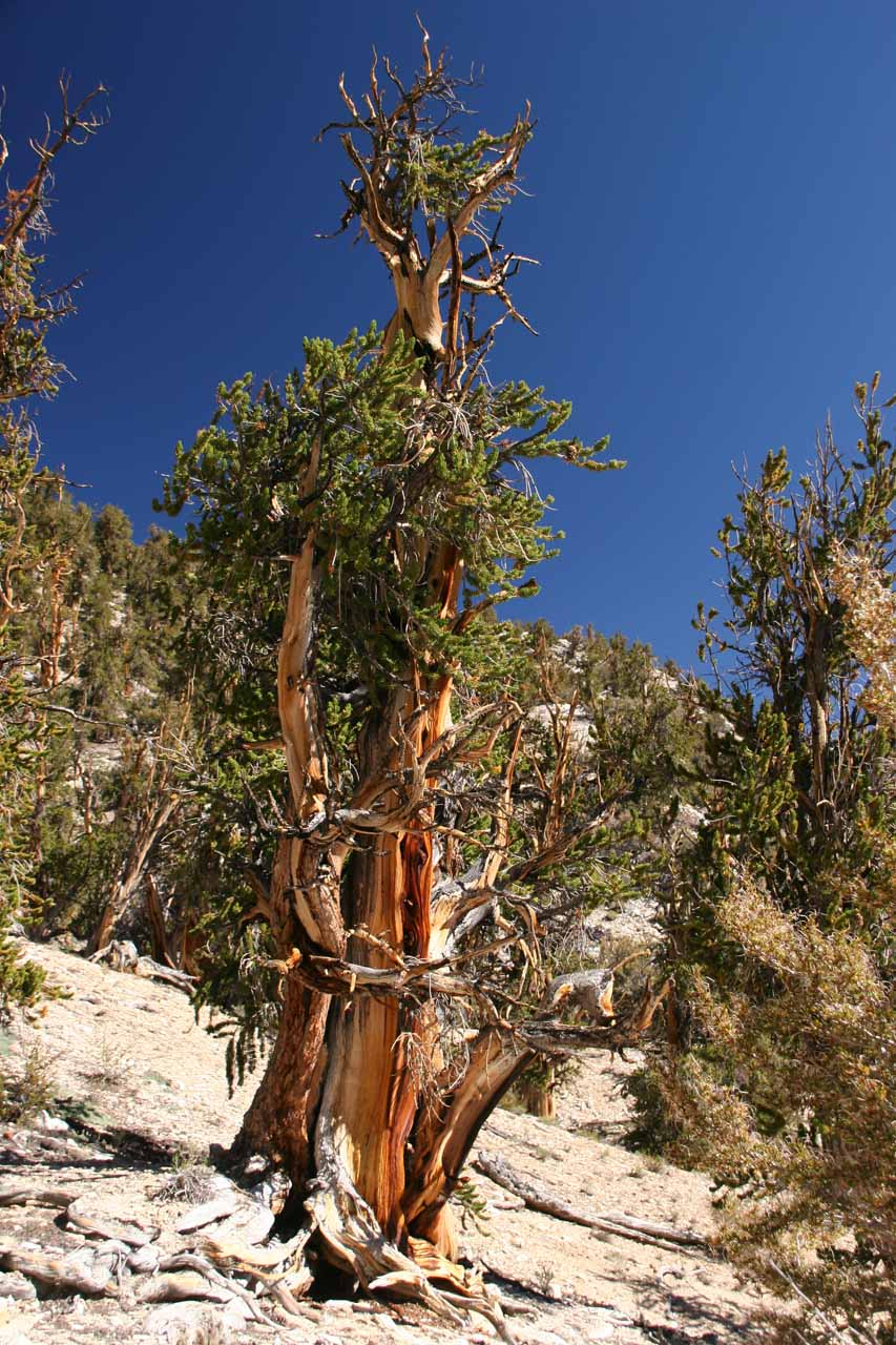Another bristlecone pine tree