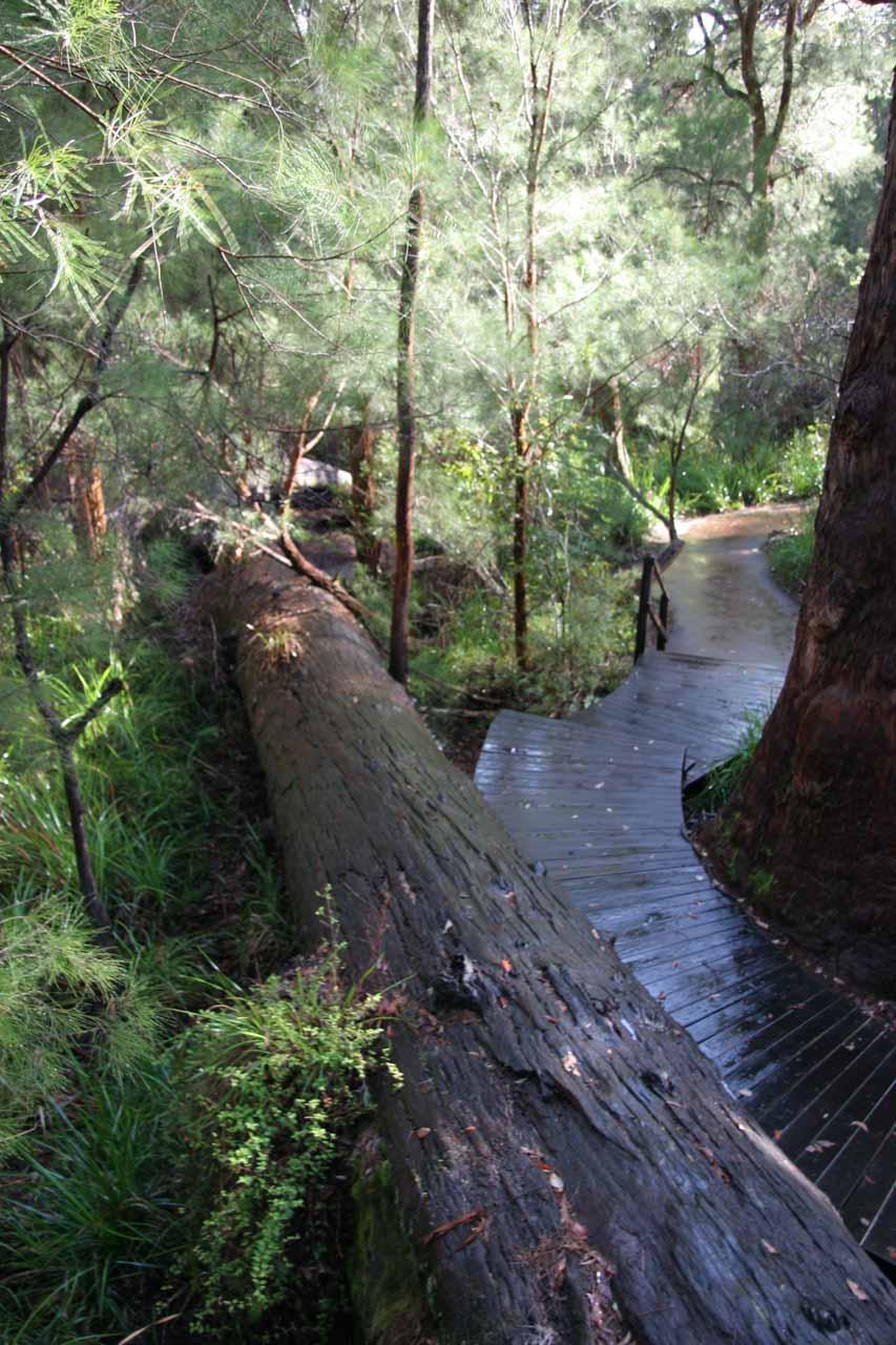The boardwalk going alongside a fallen karri tree