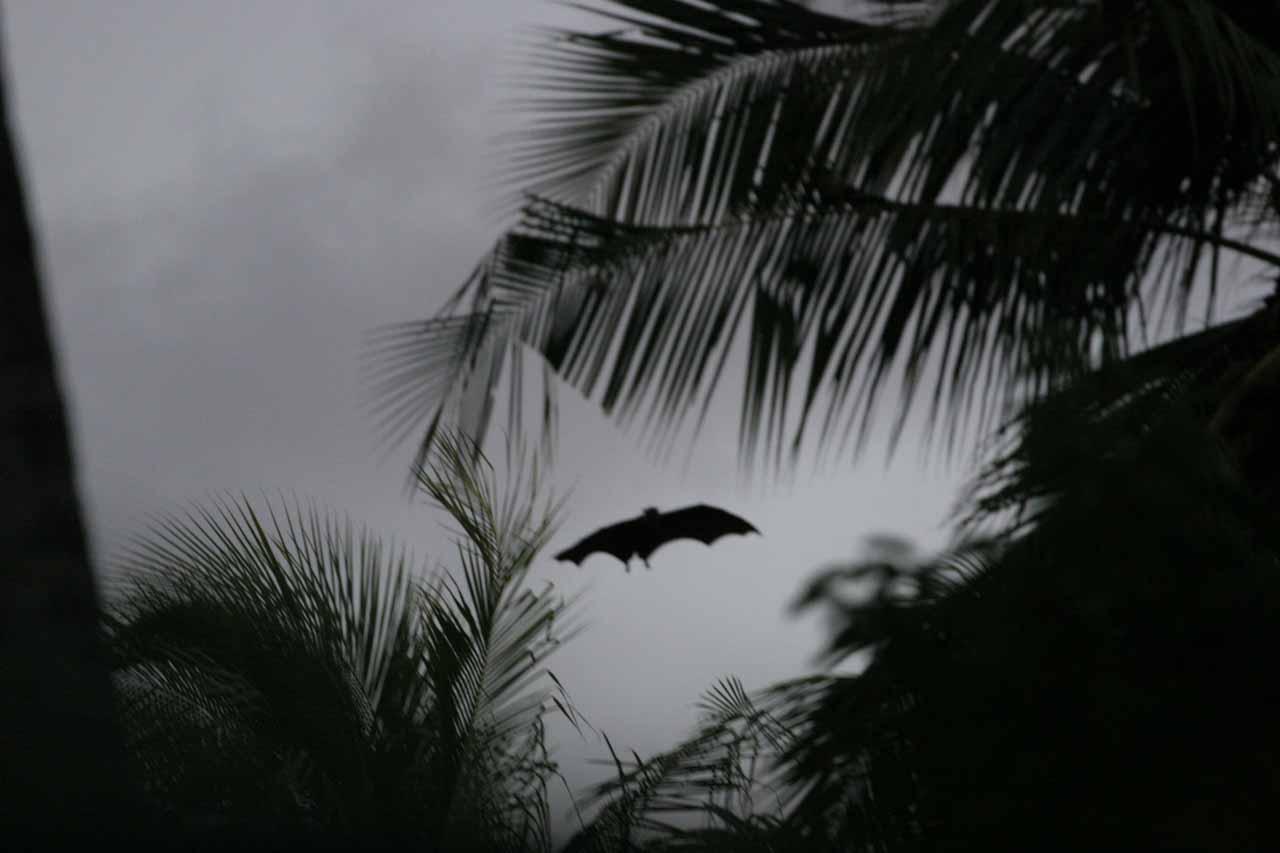 A bat flying around the Angsana Resort during twilight