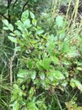 Appistoki_Falls_003_iPhone_08082017 - Another look at a huckleberry growing from a plant as seen along the Appistoki Falls Trail