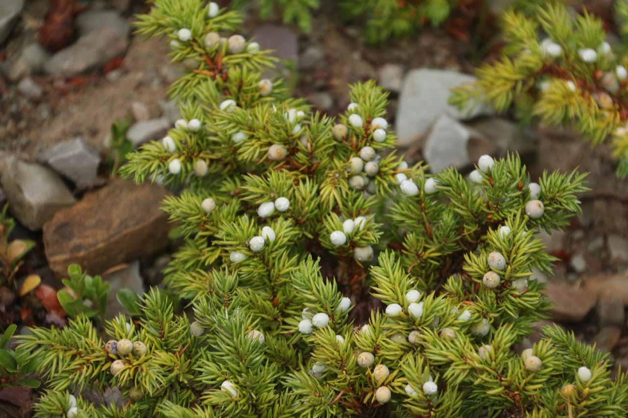 Huckleberries weren't the only berries growing alongside the Appistoki Falls Trail