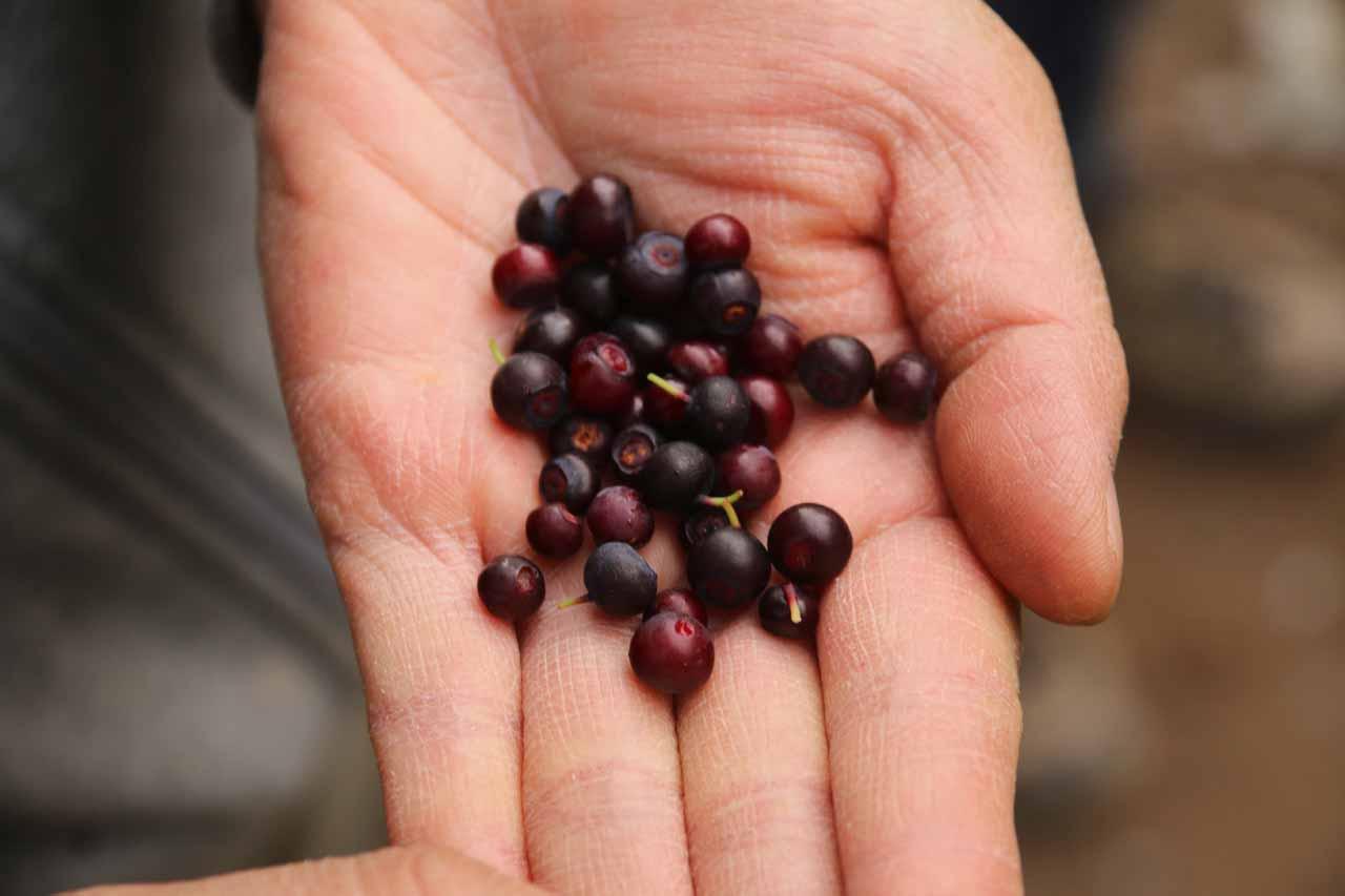 Julie showing off an even bigger handful of huckleberries