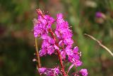 Atlantic_Ocean_Road_040_07152019 - Checking out some of the wildflowers in bloom along the Atlanterhavsvegen