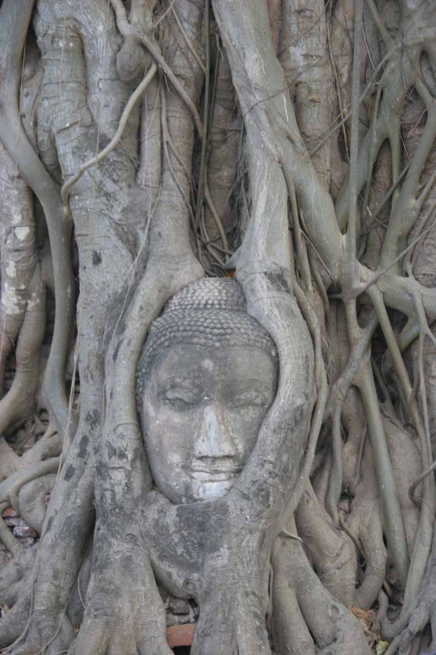 Buddha surrounded by tree roots