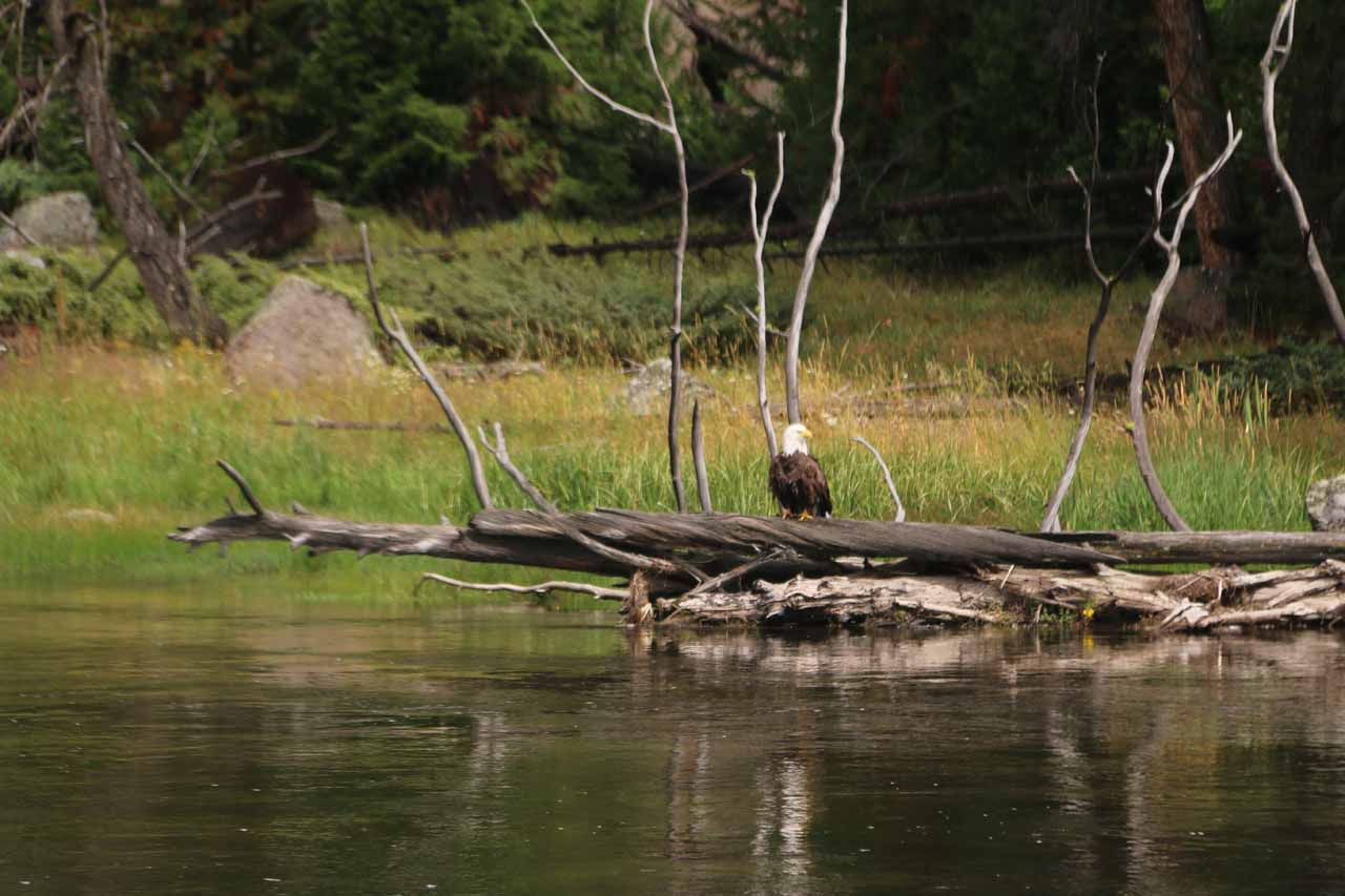 Further west of the Madison Junction, we witnessed this bald eagle perched on a log across the Madison River. It was another example of some of the pleasant surprises that Nature can throw at you