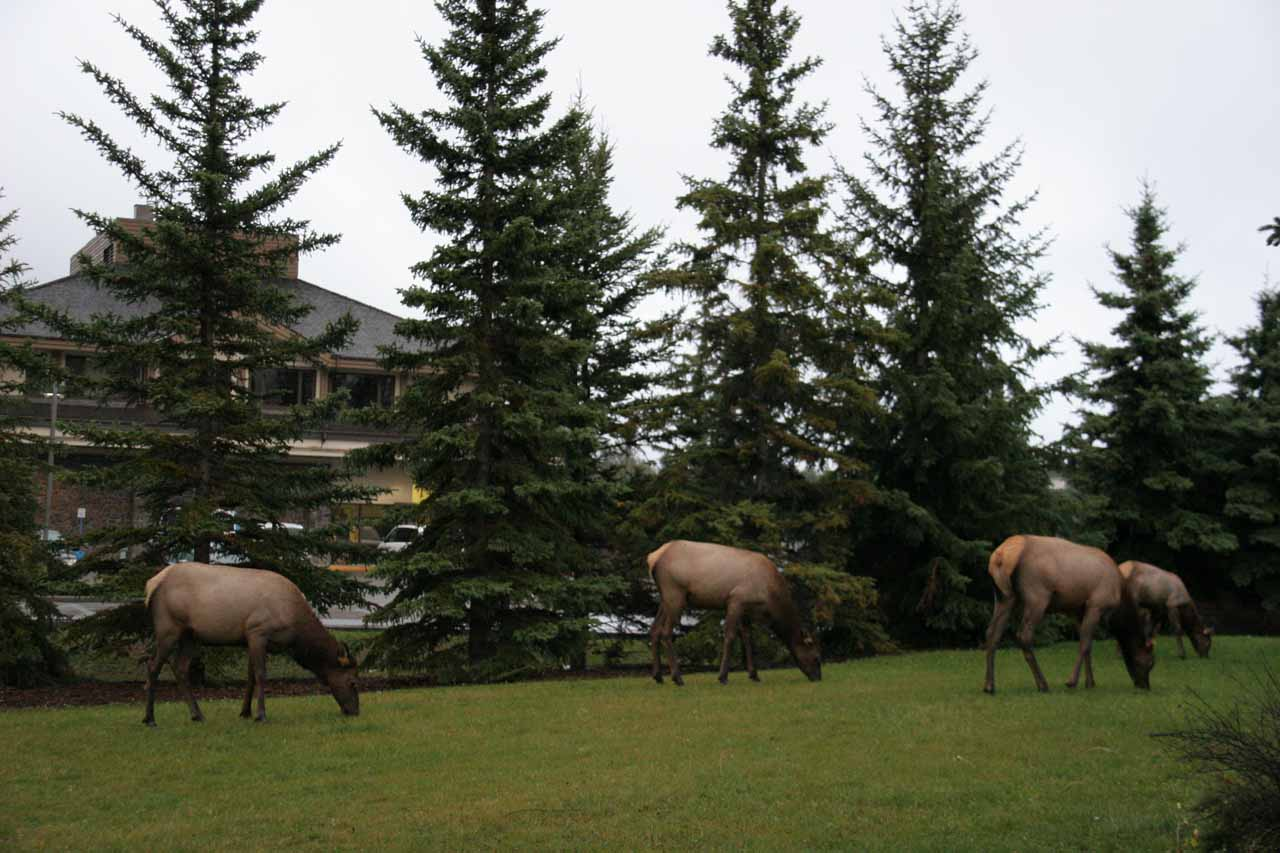 Some elk grazing on the outskirts of Banff Town