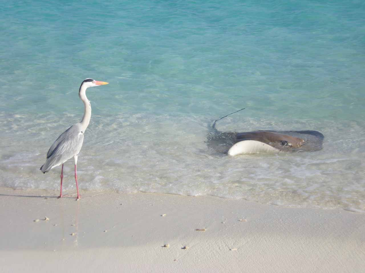 Some gull along with a stingray