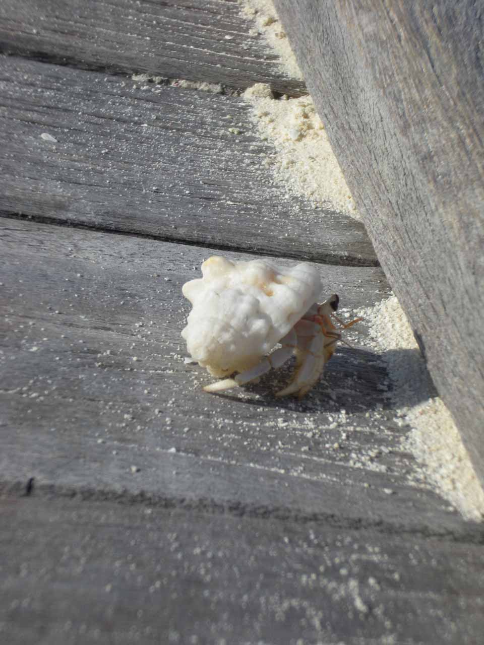 The shelled crab on the dock
