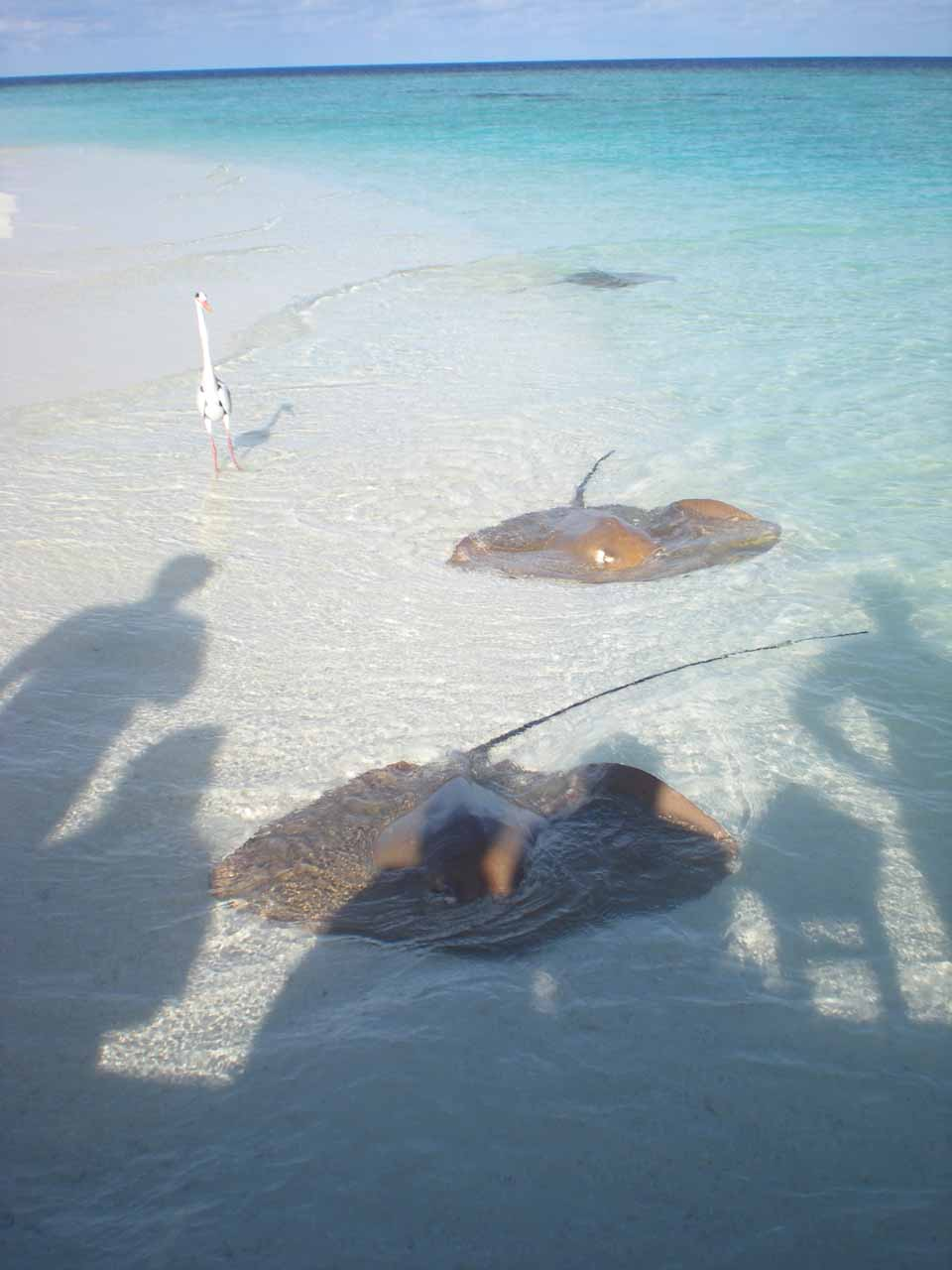 More stingrays waiting to be fed