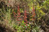 Battle_Creek_Falls_042_05282017 - Looking towards some kind of reddish flowers along the Battle Creek Trail