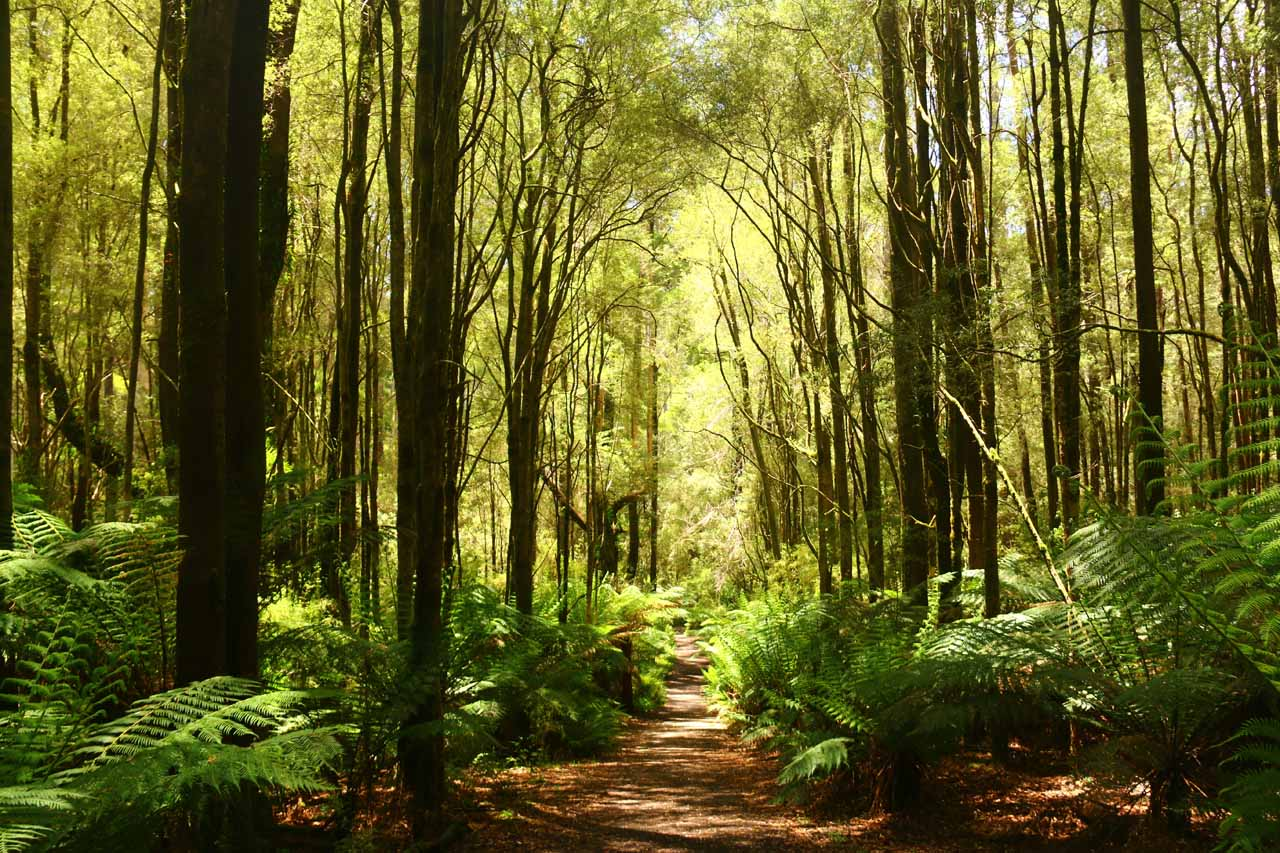 The Beauchamp Falls Track was flanked by both tall trees and ferns, which were telltale signs that this was a high rainfall area