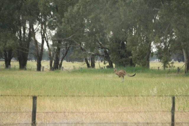 Beehive_Falls_078_11142017 - While driving the Roses Gap Road, I noticed this kangaroo jumping around someone's pasture, which kind of illustrated to me how abundant they were