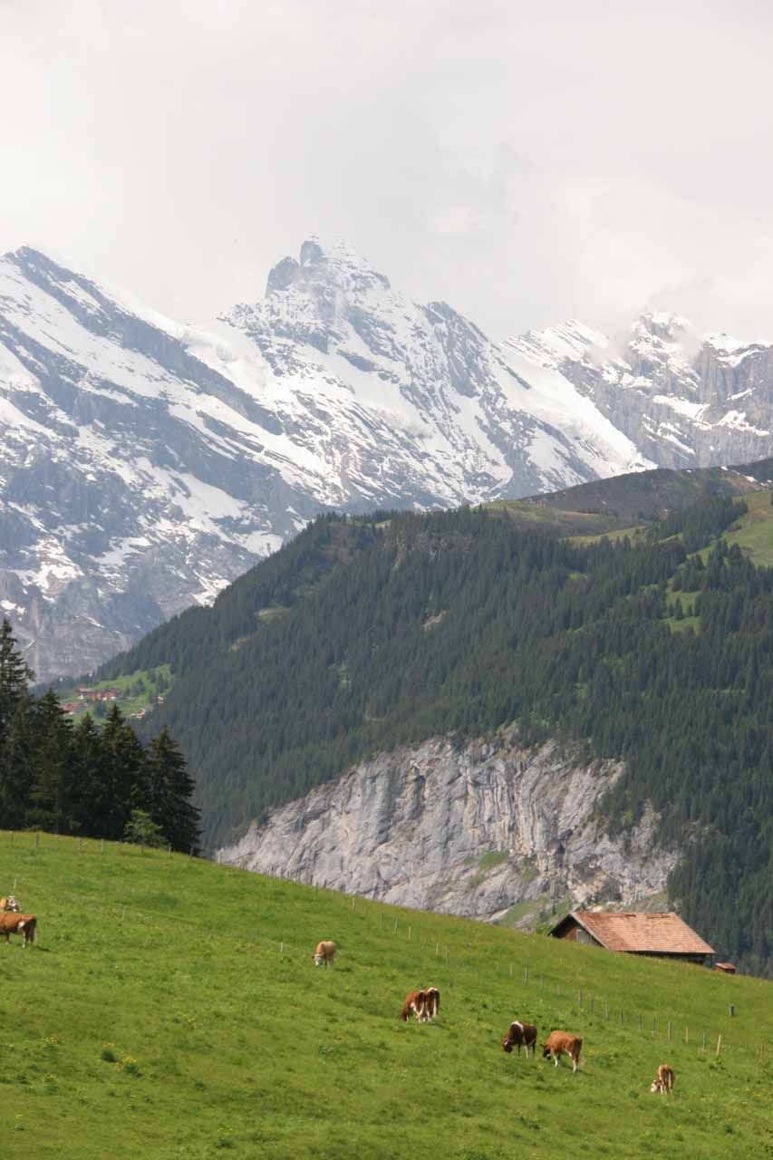 Grass-fed cows amidst stunning alpine scenery