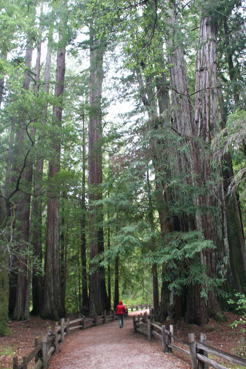 Walking amongst towering coastal redwoods