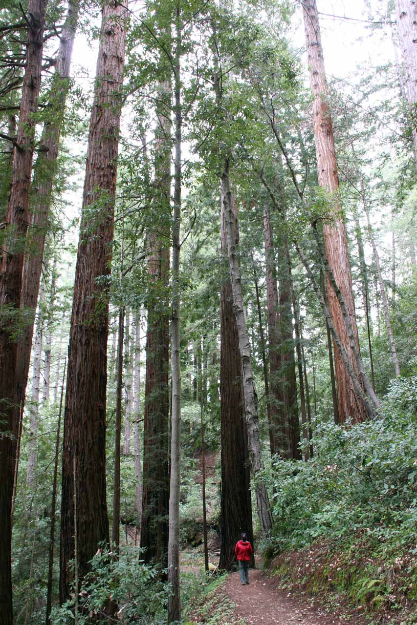 More tall redwoods