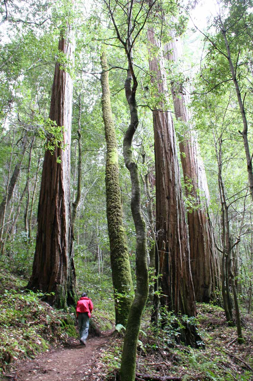 Redwoods towering over Julie deep into the Skyline to the Sea Trail