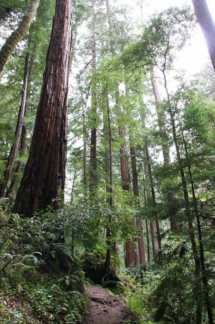 Lots of redwood trees towering over the Skyline to the Sea Trail