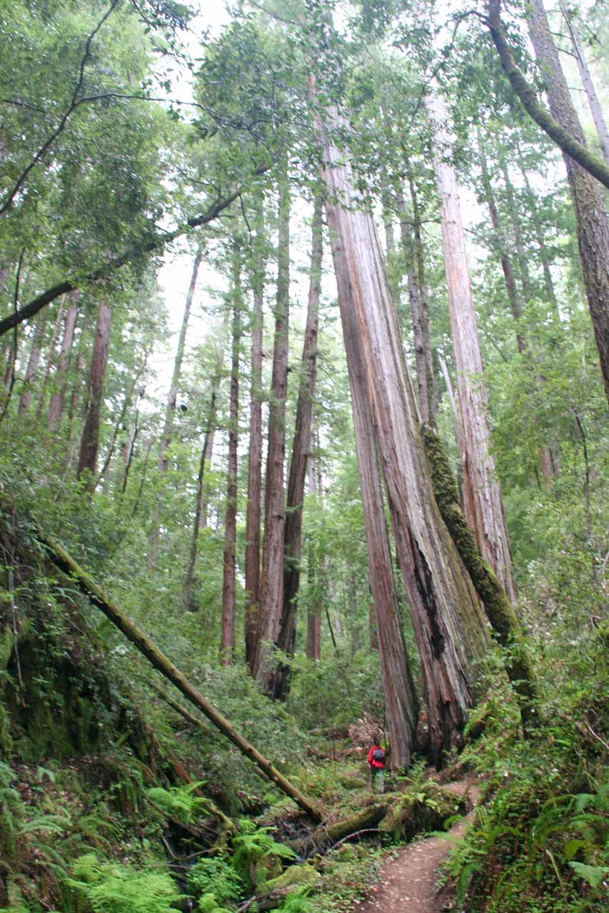 Closer to the coast in Santa Cruz County was the Big Basin Redwoods State Park, which featured lots of towering coastal redwood trees above the Skyline to the Sea Trail leading to Berry Creek Falls