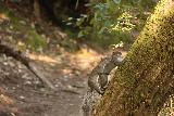 Big_Basin_Loop_021_04232019 - With an early morning start to the hike in April 2019, I noticed these squirrels getting it on.  You just never know what you can find in Nature when you come out here