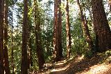Big_Basin_Loop_068_04232019 - The Sunset Trail continuing to meander between tall coastal redwood trees en route to Berry Creek Falls in April 2019