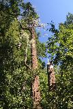 Big_Basin_Loop_123_04232019 - Looking up at a coastal redwood tree with another one where it seemed like it lost half its height as seen along the Sunset Trail during my April 2019 loop hike taking in Berry Creek Falls