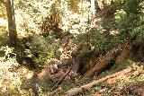 Big_Basin_Loop_424_04232019 - Lots of deadfalls on West Waddell Creek by the Skyline-to-the-Sea Trail during my April 2019 visit. Whatever storms caused such flash flooding such that so many trees were downed, they had to have been some pretty serious storms