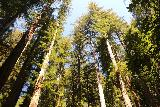 Big_Basin_Loop_487_04232019 - Looking up towards the treetops of the coastal redwood trees along the Skyline-to-the-Sea Trail towards the end of my April 2019 hike