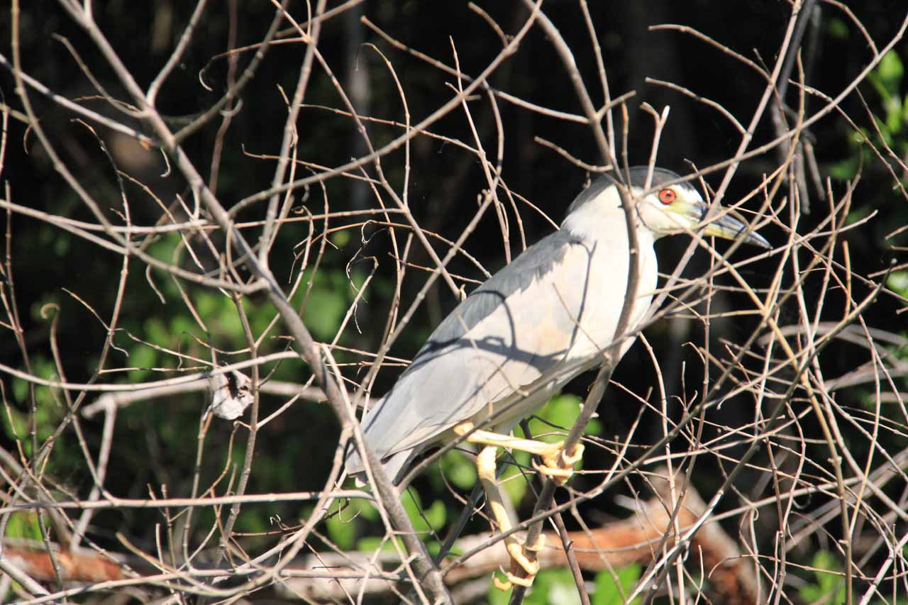 What they called an irie bird due to the red eyes as if it had smoked a ganja