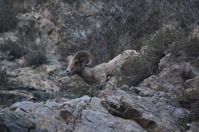 Bonita_Falls_15_084_12312015 - A bighorn sheep seen just as we were right by Bonita Falls