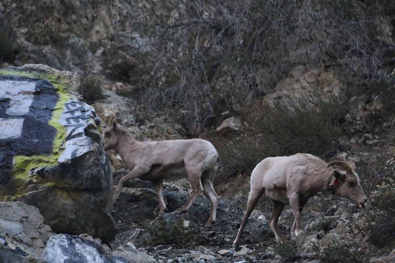 On our second visit to Bonita Falls, we saw quite a few bighorn sheep grazing high up on the cliffs nearby