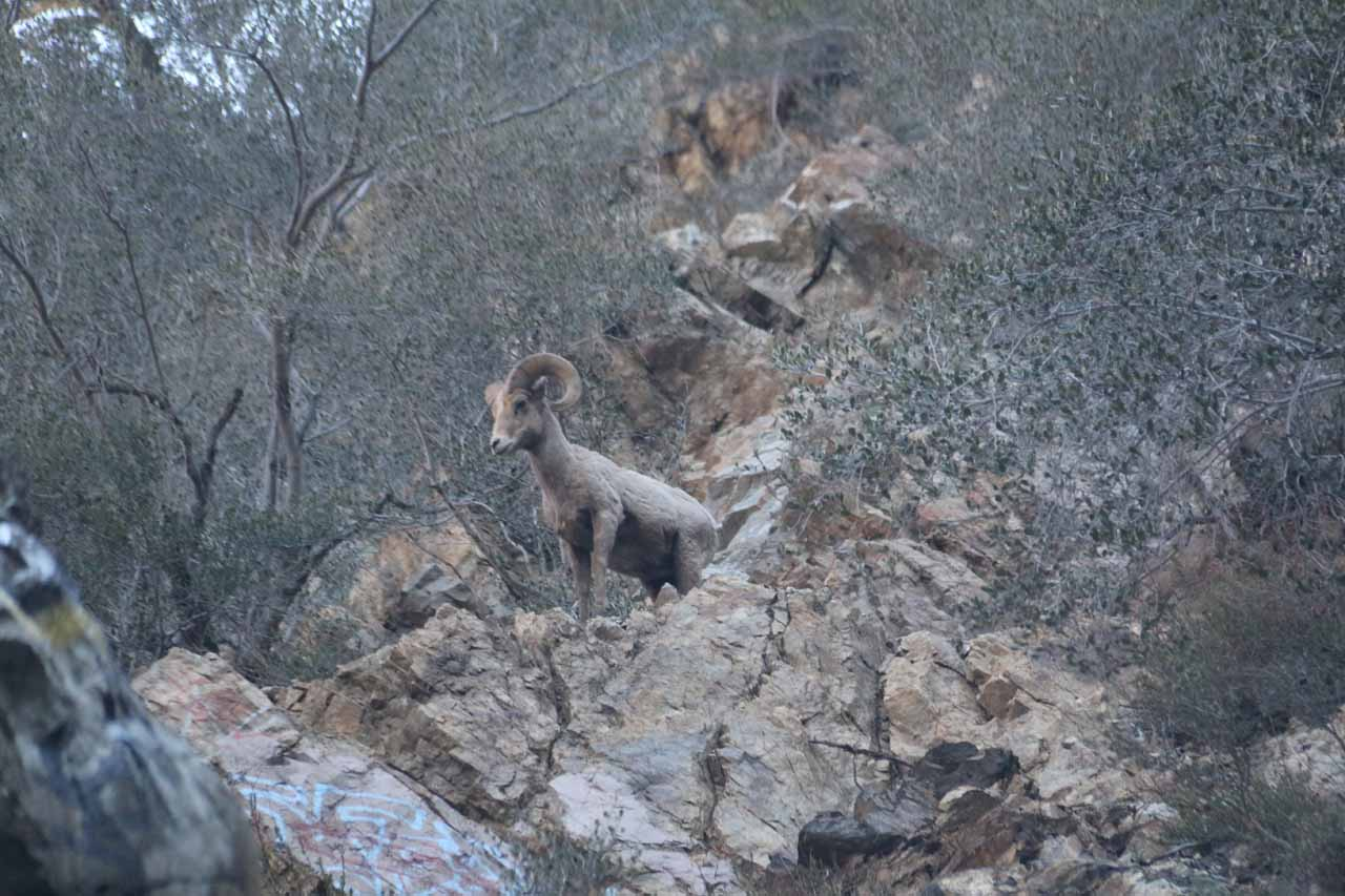 This was one of a handful of bighorn sheep that surprised us on our second visit to Bonita Falls