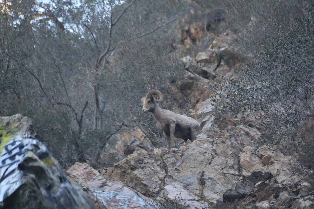 Looking up at a bighorn sheep by Bonita Falls