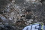 Bonita_Falls_15_124_12312015 - The largest of the bighorn sheep looking the other way by some graffiti rocks
