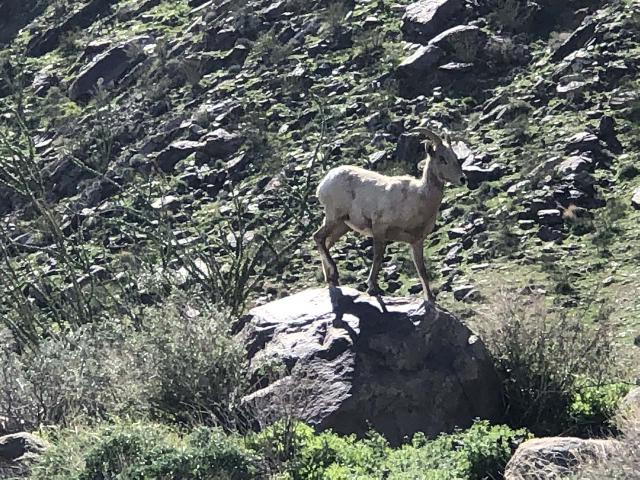 Borrego_Palm_Canyon_008_jx_02092019 - This was the desert bighorn sheep that Julie spotted along the Borrego Palm Canyon Trail